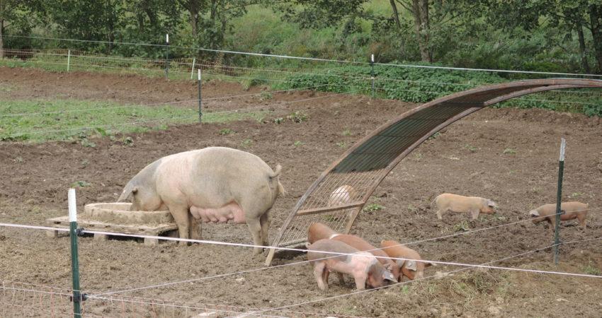 Schweinezucht in Leberfing
