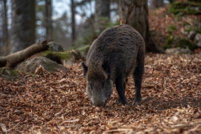 Wildschweine als Überträger der ASP