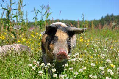 Symbolbild: Schwein